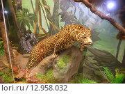 Купить «Леопард в Дарвиновском музее. Москва», эксклюзивное фото № 12958032, снято 26 июля 2014 г. (c) Галина Шорикова / Фотобанк Лори