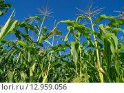 Кукуруза в поле. Стоковое фото, фотограф Аркадий Рыпин / Фотобанк Лори