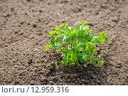 Купить «Петрушка, растущая на огороде», фото № 12959316, снято 1 июня 2013 г. (c) Andrei Nekrassov / Фотобанк Лори