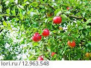 Купить «Спелые красные яблоки на ветке», фото № 12963548, снято 23 сентября 2015 г. (c) Татьяна Кахилл / Фотобанк Лори