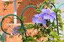 Цветущий клематис (лат. Clemаtis), эксклюзивное фото № 12964436, снято 13 сентября 2014 г. (c) Юрий Морозов / Фотобанк Лори