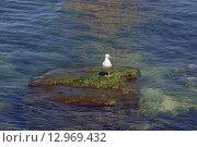 Чайка сидит на островке в море. Стоковое фото, фотограф Оксана Зенит-Журавлева / Фотобанк Лори