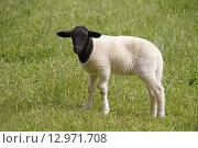 Купить «black animal bright agriculture meadow», фото № 12971708, снято 25 июня 2019 г. (c) PantherMedia / Фотобанк Лори