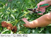 Купить «Обрезка увядших цветов в саду», эксклюзивное фото № 12986452, снято 4 июля 2011 г. (c) Юрий Морозов / Фотобанк Лори