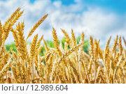 Купить «Пшеничные колоски», фото № 12989604, снято 1 июля 2015 г. (c) Игорь Струков / Фотобанк Лори