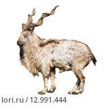 Купить «Винторогий козел (мархур) на белом фоне изолировано», фото № 12991444, снято 11 марта 2015 г. (c) Наталья Волкова / Фотобанк Лори