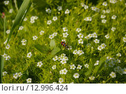 Красный жук и белые цветы в траве. Стоковое фото, фотограф Игорь Разумов / Фотобанк Лори