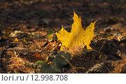 Осенний кленовый лист в закатном свете солнца. Стоковое фото, фотограф Анатолий Платонов / Фотобанк Лори