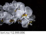 Ветка белой орхидеи на черном фоне. Стоковое фото, фотограф Юлия Добычина/Iuliia Dobychina / Фотобанк Лори