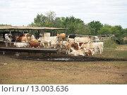 Коровы на летней ферме. Стоковое фото, фотограф Мария Северина / Фотобанк Лори
