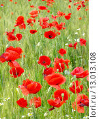 Купить «Summer field of red poppies and wild flowers», фото № 13013108, снято 19 марта 2019 г. (c) PantherMedia / Фотобанк Лори