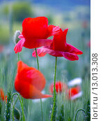Купить «Summer field of red poppies and wild flowers», фото № 13013308, снято 19 марта 2019 г. (c) PantherMedia / Фотобанк Лори