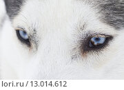 Купить «Close up on blue eyes of a husky», фото № 13014612, снято 23 марта 2019 г. (c) PantherMedia / Фотобанк Лори