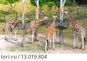 Herd of giraffe. Стоковое фото, фотограф Юрий Брыкайло / Фотобанк Лори