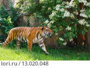 Купить «walking tiger», фото № 13020048, снято 29 мая 2012 г. (c) Юрий Брыкайло / Фотобанк Лори