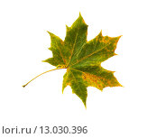 Купить «dry fallen maple leaf», фото № 13030396, снято 7 октября 2015 г. (c) Syda Productions / Фотобанк Лори