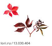 Купить «autumn grape leaves and bunch with berries», фото № 13030404, снято 7 октября 2015 г. (c) Syda Productions / Фотобанк Лори