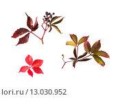 Купить «autumn grape leaves and bunch with berries», фото № 13030952, снято 7 октября 2015 г. (c) Syda Productions / Фотобанк Лори