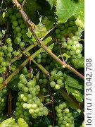 Купить «Виноград на ветках», фото № 13042708, снято 25 июля 2015 г. (c) Рамиль Гибадуллин / Фотобанк Лори