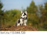 Маленький щенок хаски. Стоковое фото, фотограф Савчук Алексей / Фотобанк Лори