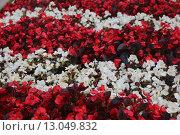Бегония в летнем саду. Стоковое фото, фотограф Ирина Садовская / Фотобанк Лори