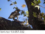 Купить «Juvenile Red Tailed Hawk with Prey», фото № 13057332, снято 15 октября 2019 г. (c) PantherMedia / Фотобанк Лори