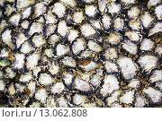 Купить «Раковины устриц на скале», фото № 13062808, снято 25 сентября 2015 г. (c) Швайгерт Екатерина / Фотобанк Лори
