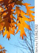 Купить «Оранжевые осенние листья дуба красного (Quércus rubra) на фоне голубого неба», эксклюзивное фото № 13062932, снято 5 ноября 2015 г. (c) Ирина Водяник / Фотобанк Лори