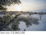 Купить «Ветки сосны в инее», фото № 13065536, снято 13 ноября 2015 г. (c) Алексей Маринченко / Фотобанк Лори