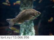 Купить «Рыба в океанариуме», фото № 13066956, снято 8 ноября 2015 г. (c) Литвяк Игорь / Фотобанк Лори