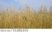 Купить «Пшеничное поле и небо», видеоролик № 13068816, снято 16 сентября 2015 г. (c) Насыров Руслан / Фотобанк Лори