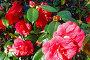 Blossoming Camellia bush with red flowers., фото № 13071992, снято 20 марта 2014 г. (c) Юрий Брыкайло / Фотобанк Лори
