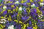 Blossoming varicolored flowerbed., фото № 13072016, снято 23 марта 2014 г. (c) Юрий Брыкайло / Фотобанк Лори