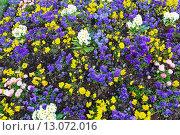 Купить «Blossoming varicolored flowerbed.», фото № 13072016, снято 23 марта 2014 г. (c) Юрий Брыкайло / Фотобанк Лори