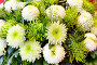 White chrysanthemum flowers bouquet, фото № 13072148, снято 24 марта 2014 г. (c) Юрий Брыкайло / Фотобанк Лори