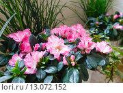 Купить «Pink azalea flowers plant», фото № 13072152, снято 24 марта 2014 г. (c) Юрий Брыкайло / Фотобанк Лори