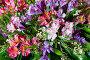 Big multicolor alstroemeria flowers bouquet, фото № 13072232, снято 24 марта 2014 г. (c) Юрий Брыкайло / Фотобанк Лори