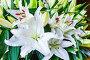 Amaryllis flowers bouquet, фото № 13072260, снято 24 марта 2014 г. (c) Юрий Брыкайло / Фотобанк Лори
