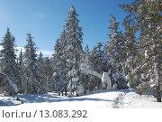 Купить «Зимний лес, ели в снегу и тропа в  снегу», фото № 13083292, снято 10 марта 2013 г. (c) Юрий Карачев / Фотобанк Лори