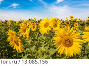 Купить «plant flower agriculture eco sunflower», фото № 13085156, снято 11 декабря 2017 г. (c) PantherMedia / Фотобанк Лори