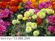 Купить «Chrysanthemum flowers», фото № 13086204, снято 25 марта 2018 г. (c) PantherMedia / Фотобанк Лори