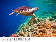 Купить «Hawksbill Turtle - Eretmochelys imbricata», фото № 13097164, снято 21 марта 2014 г. (c) Андрей Армягов / Фотобанк Лори