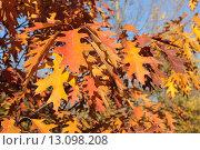 Купить «Яркие осенние листья дуба красного (Quércus rubra) или северного (Quercus Borealis) на фоне неба», эксклюзивное фото № 13098208, снято 5 ноября 2015 г. (c) Ирина Водяник / Фотобанк Лори