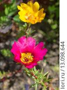Купить «Портулак крупноцветковый (лат. Portulaca grandiflora)», эксклюзивное фото № 13098644, снято 25 июля 2015 г. (c) Елена Коромыслова / Фотобанк Лори