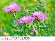 Купить «Васильки на лужайке (Centaurea jacea)», фото № 13102036, снято 14 июля 2013 г. (c) Надежда Нестерова / Фотобанк Лори