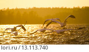 Купить «Flock of Pelicans flying over the lake, Lake Of The Woods, Ontario, Canada», фото № 13113740, снято 12 июля 2014 г. (c) Ingram Publishing / Фотобанк Лори
