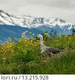 Купить «Magellan goose (Chloephaga picta)», фото № 13215928, снято 29 ноября 2013 г. (c) Ingram Publishing / Фотобанк Лори