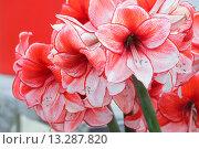 Купить «Amaryllis flowers bouquet», фото № 13287820, снято 28 марта 2014 г. (c) Юрий Брыкайло / Фотобанк Лори