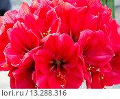 Купить «Red Amaryllis flowers», фото № 13288316, снято 28 марта 2014 г. (c) Юрий Брыкайло / Фотобанк Лори
