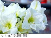 Купить «White Amaryllis flowers», фото № 13288488, снято 28 марта 2014 г. (c) Юрий Брыкайло / Фотобанк Лори